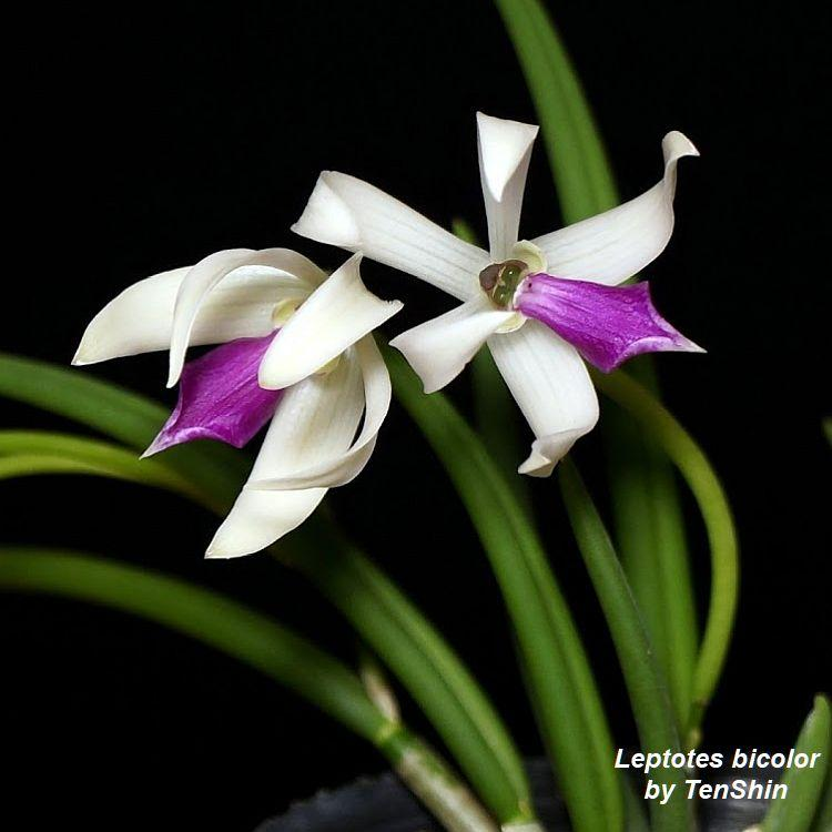 TS29 Leptotes bicolor Bare Root Miniature T150