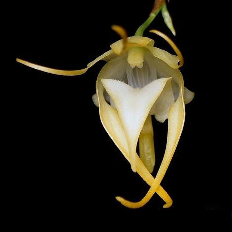 Aeranthes grandiflora Bare Root P59