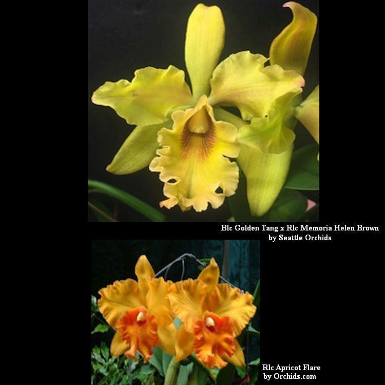 C207 Rby Golden Tang x Rlc. Memoria Helen Brown x Rlc Apricot Flare 'Ta-tung' Bare Root T641