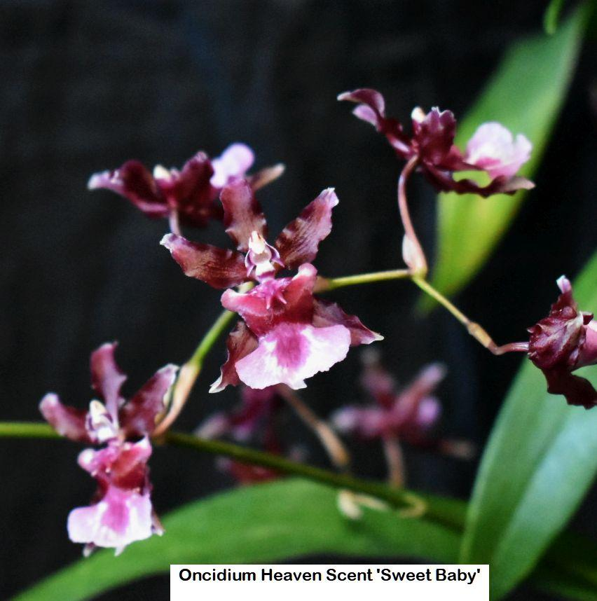 K507 Oncidium Heaven Scent 'Sweet Baby' 3 1/4 Pot frag S219
