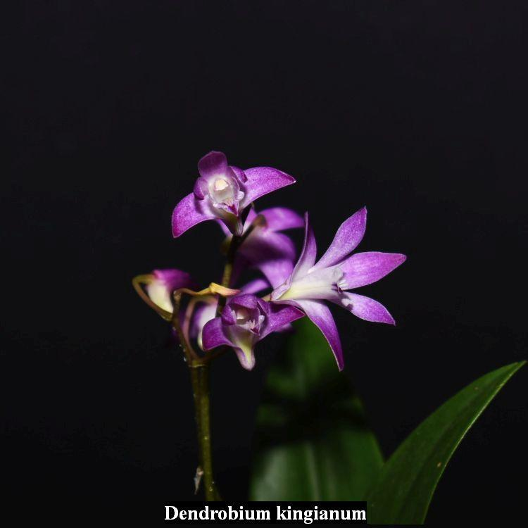 TS1020.115 Dendrobium kingianum Fragrant Bare Root T38