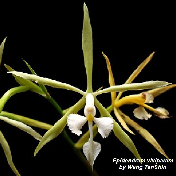Epidendrum viviparum Bare Root S355