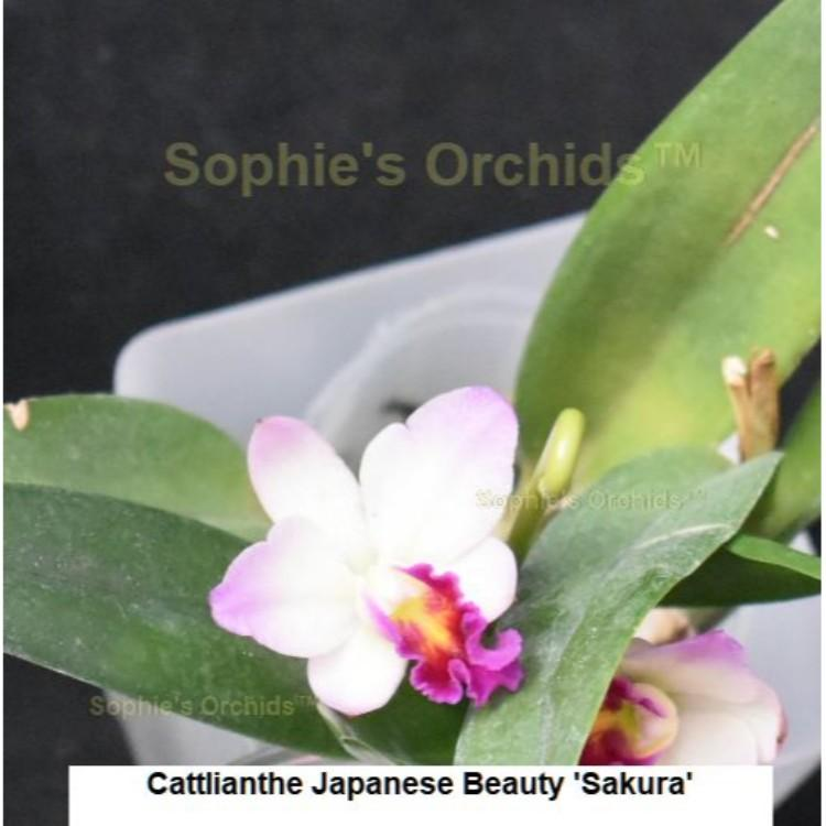 Cattlianthe Japanese Beauty 'Sakura' 3 1/4'' Pot T517