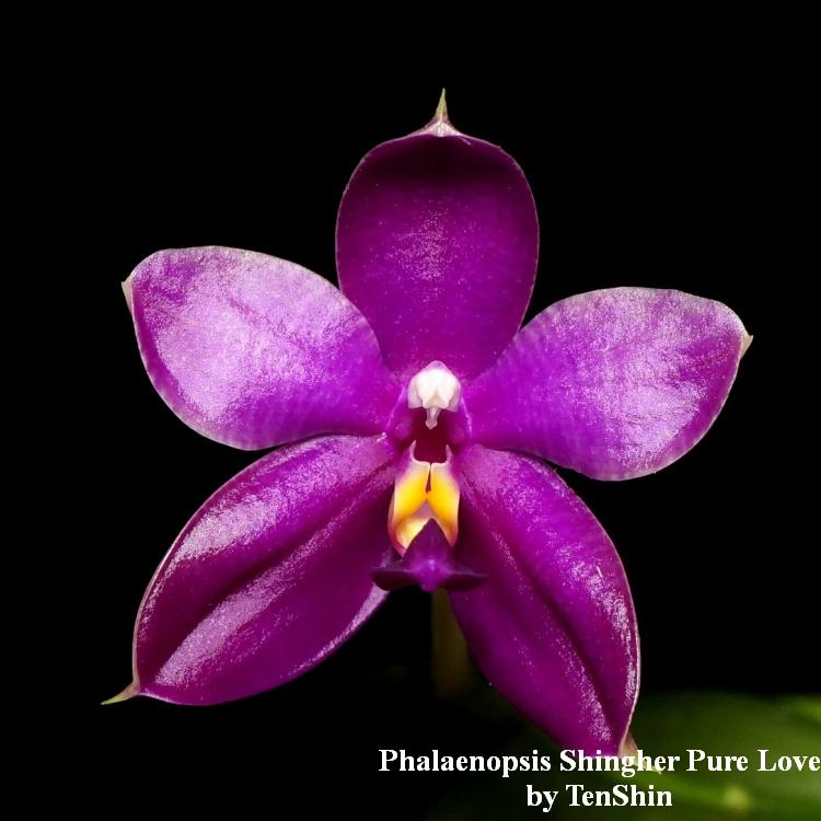 TS1020.151 Phalaenopsis Shingher Pure Love Bare Root T712