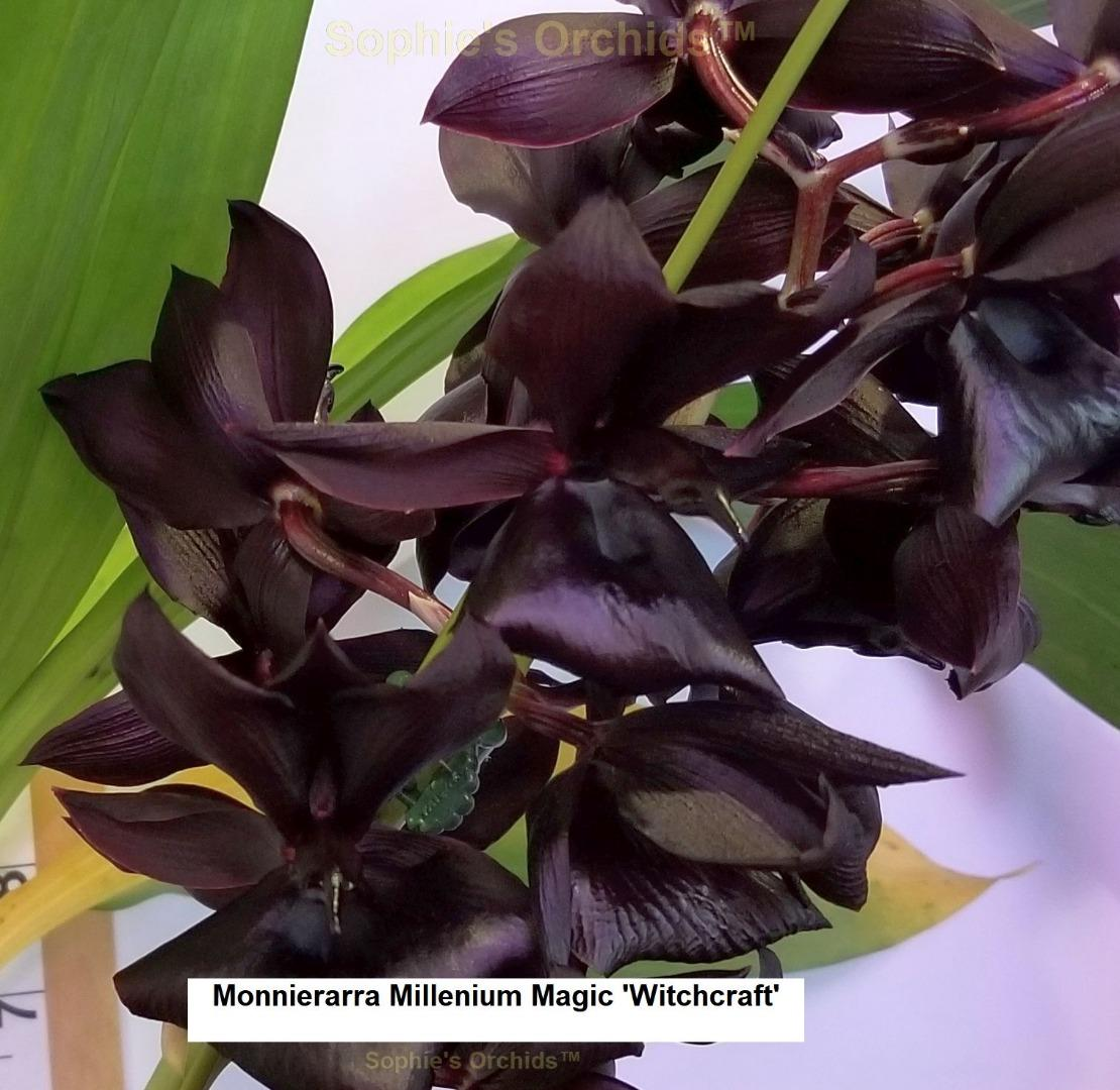 H666 Monnierara Millenium Magic 'Witchcraft' AM/AOS 2 1/4'' Pot S530