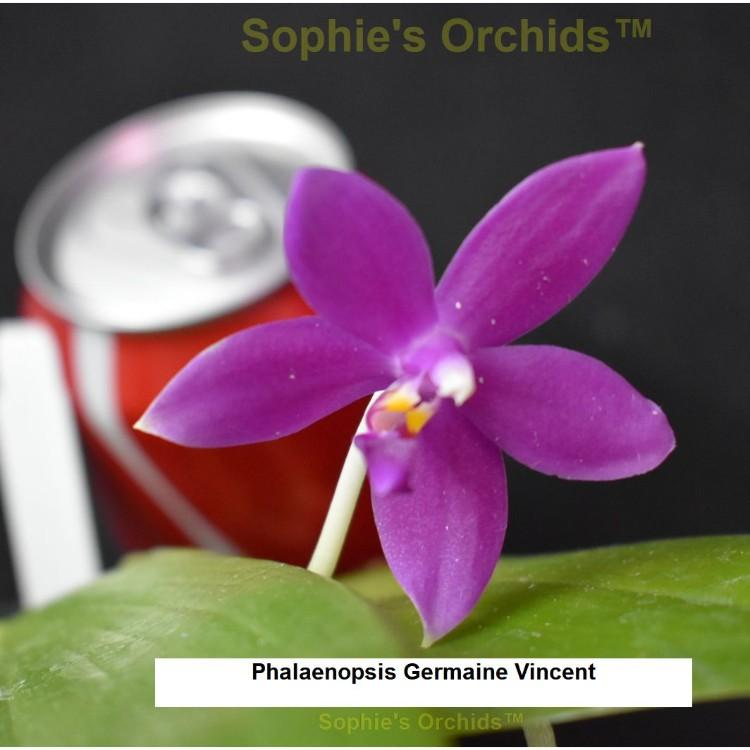 SOI117 Phalaenopsis Germaine Vincent Bare Root T646