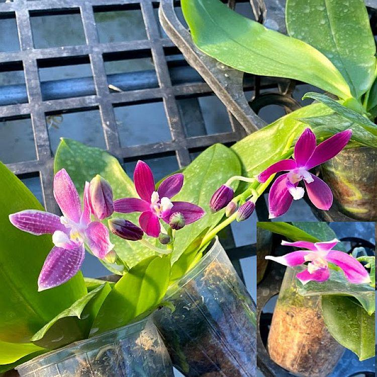 TS1020.78 Phal. tetraspis imperatrix purple fragrance Bare Root T698