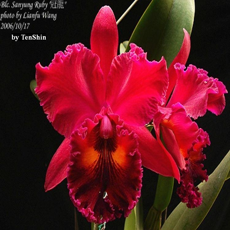 Rlc. Sanyung Ruby 'Guan Long' 3 1/4'' Pot T655