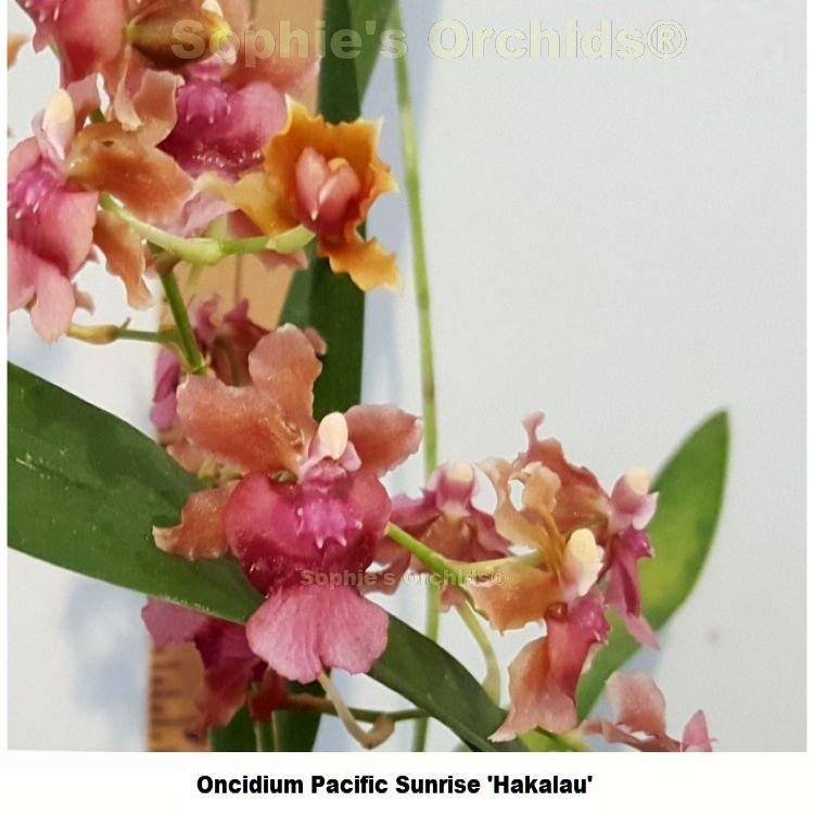 K337 Oncidium Pacific Sunrise 'Hakalau' 3 1/4'' Pot Mini S614