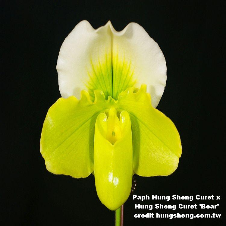 9659 Paph Hung Sheng Curet x Hung Sheng Curet 'Bear' 3 1/4'' T386