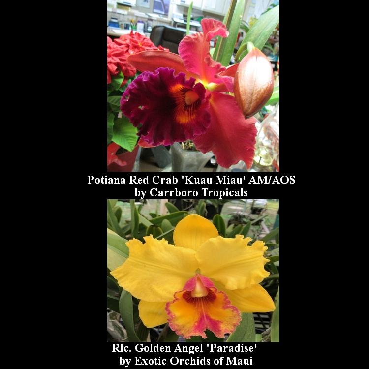 CA5053 Pot. Red Crab 'Kuau Miau' AM/AOS x Rlc. Golden Angel 'Paradise' 2 1/4'' Pot T723