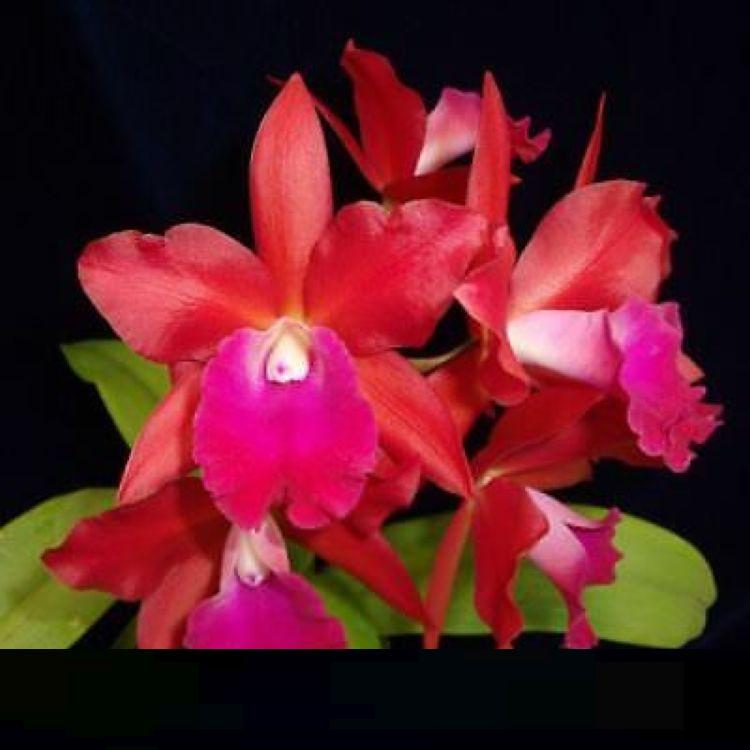 BIN T-4999 Pot.Love Triangle 'Yasuji Takasaki' 3 1/4'' Pot S965