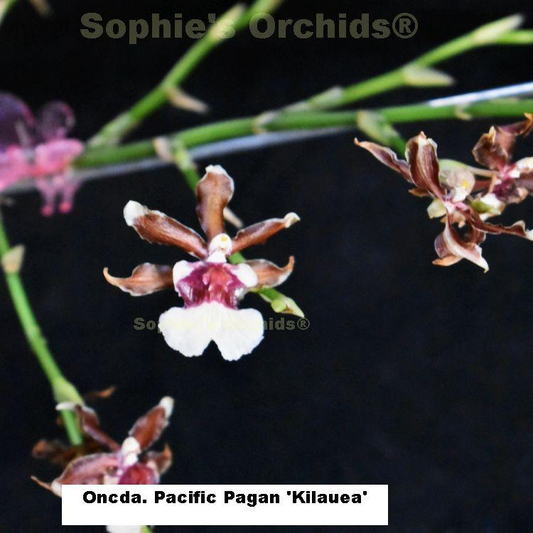 R586 Oncda Pacific Pagan 'Kilauea' 3 1/4'' Pot S260
