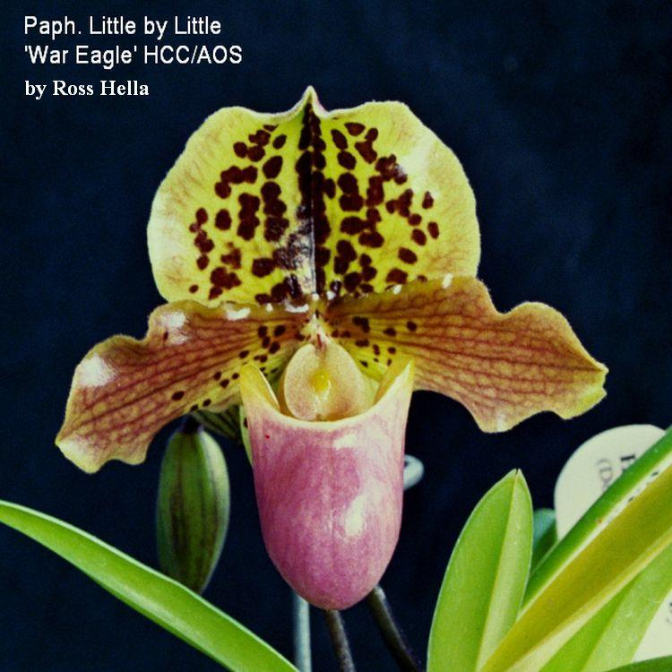 Paph. Little by Little 'War Eagle' x Dakota Zoo 'Big Cats Roar' 2 1/4'' Pot T632