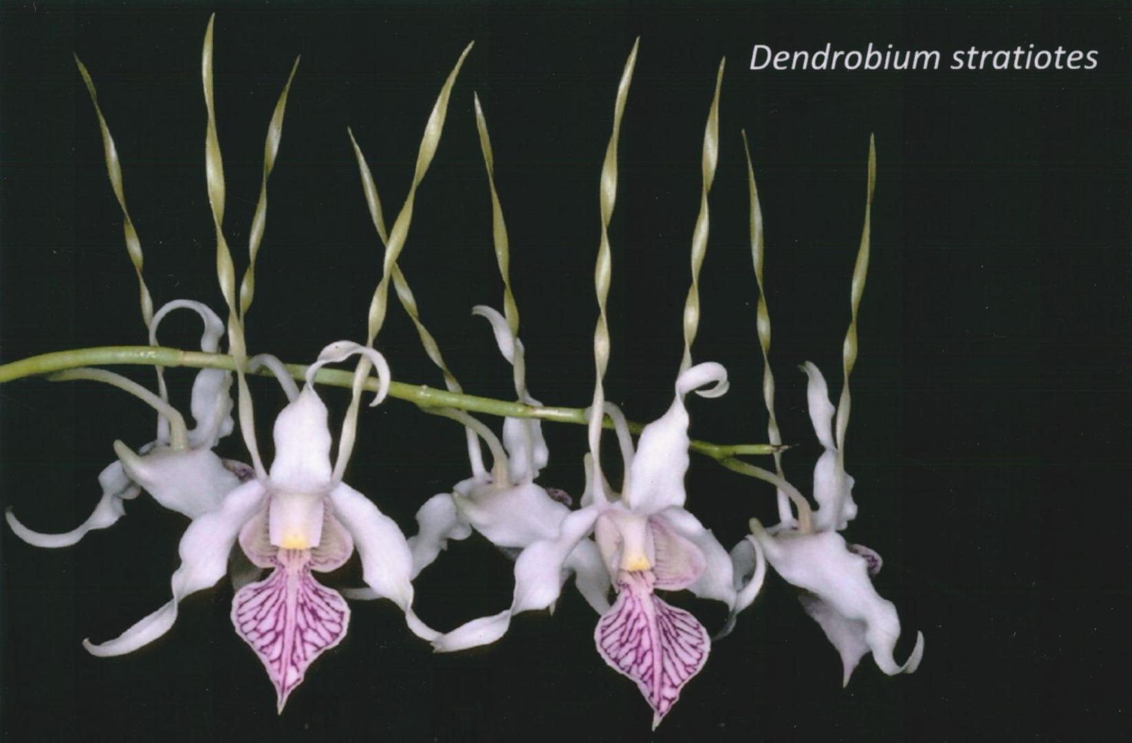 BIN Dendrobium stratiotes Bare Root T286