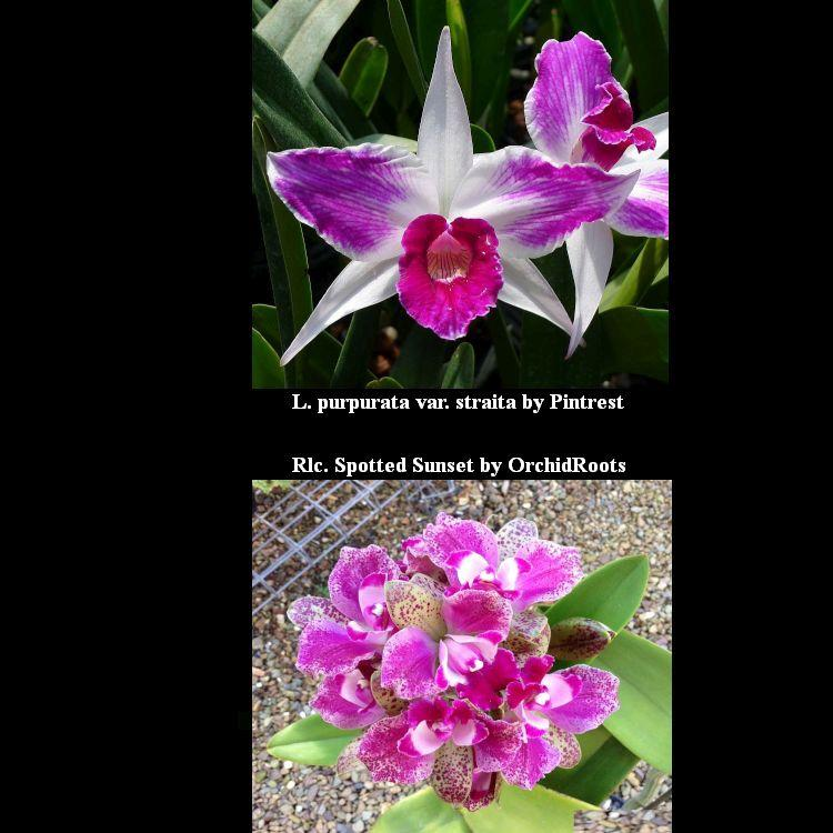 KA7052 Rlc. Spotted Sunset x L. purpurata var. straita 3 1/4'' Pot A114