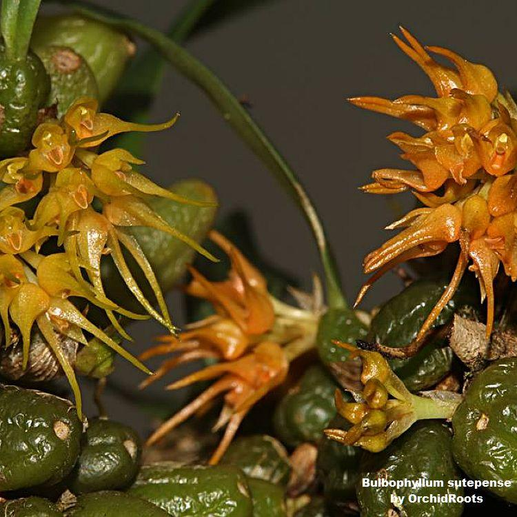 Bulbophyllum sutepense  Mounted T501