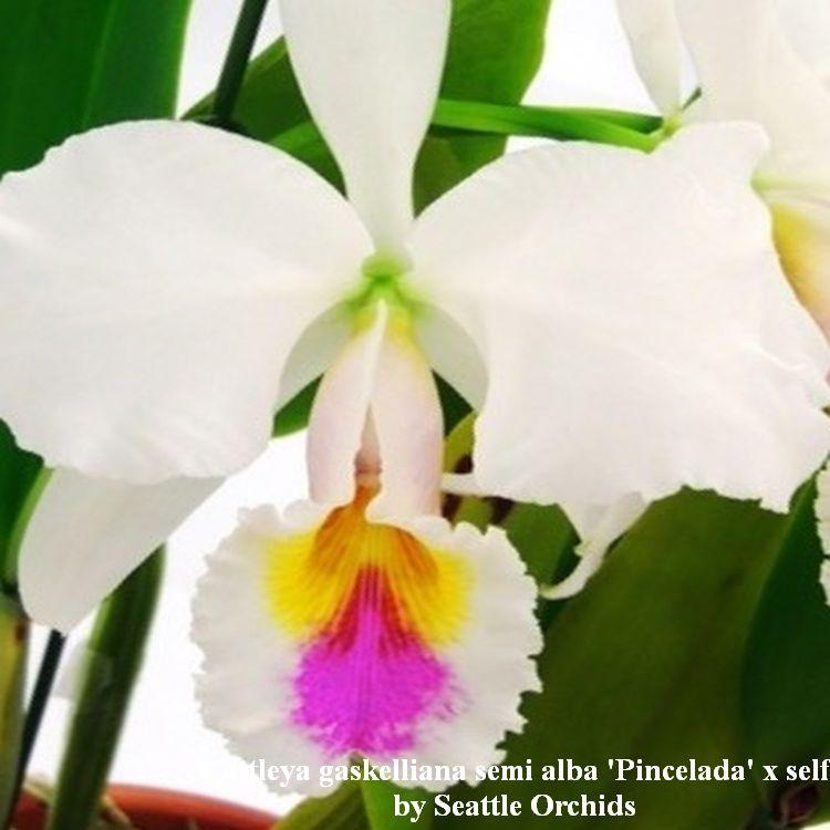 1438 Cattleya gaskelliana semi alba 'Pincelada' x self 5'' Pot T661