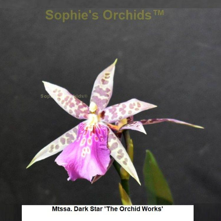 T-5087 Miltassia Dark Star 'The Orchid Works' 2 1/4'' Pot S594