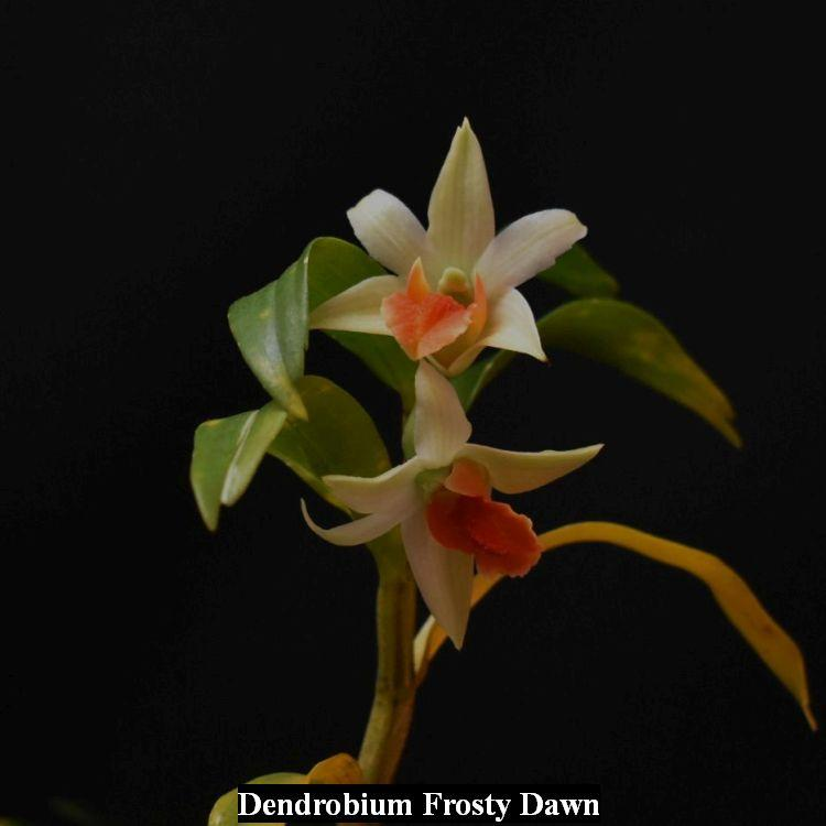 SOI30 Dendrobium Frosty Dawn Bare Root frag T728
