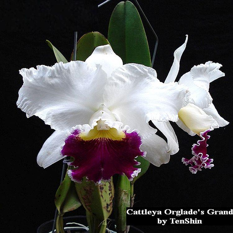 TS1020.132 Cattleya Orglade's Grand Bare Root T39