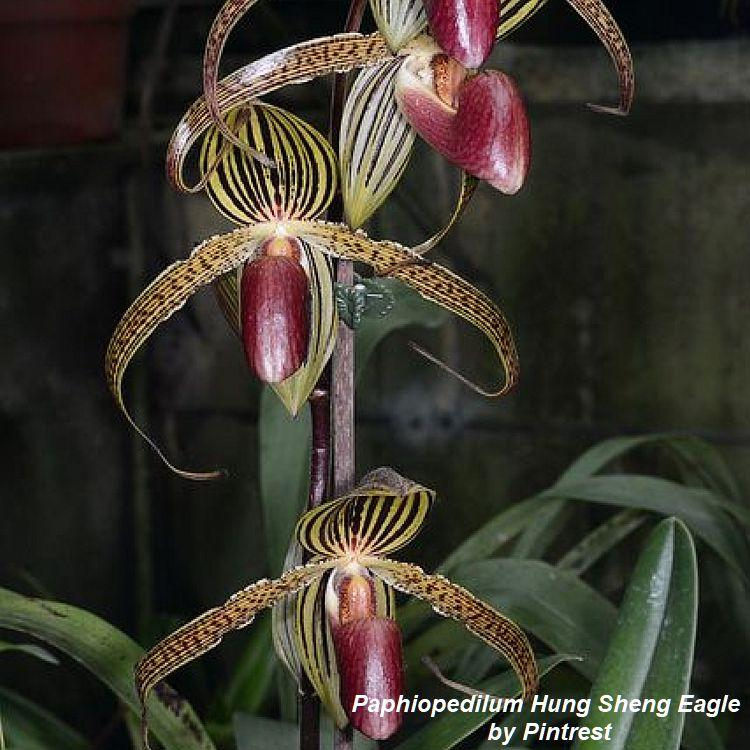 TS3 Paphiopedilum Hung Sheng Eagle Bare Root T584
