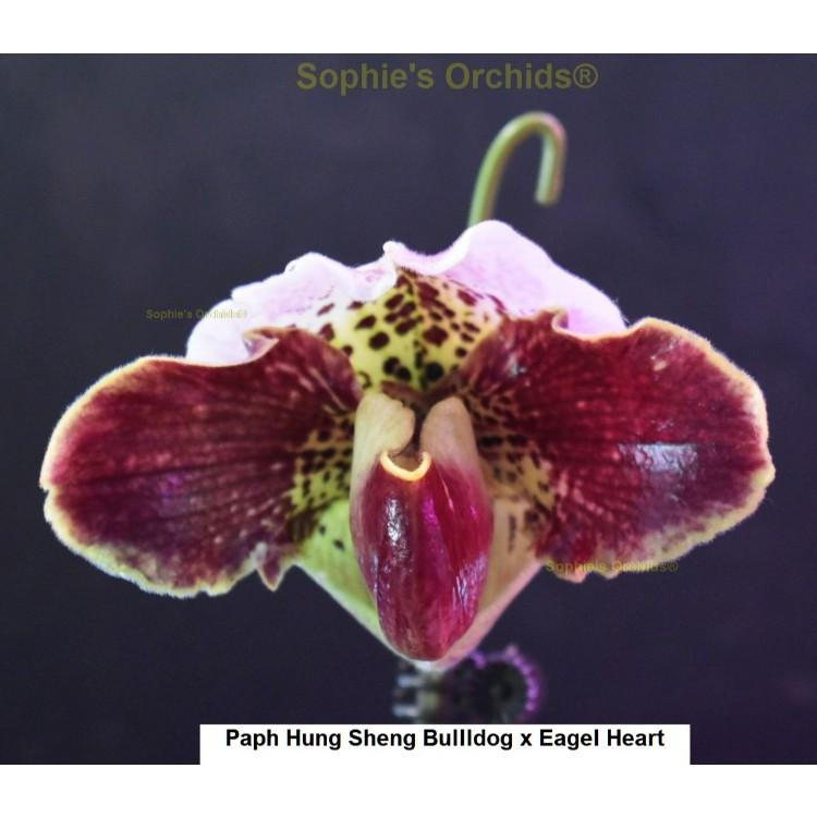 9931 Paph Hung Sheng Bulldog x Eagle Heart 3 1/4'' Pot T422