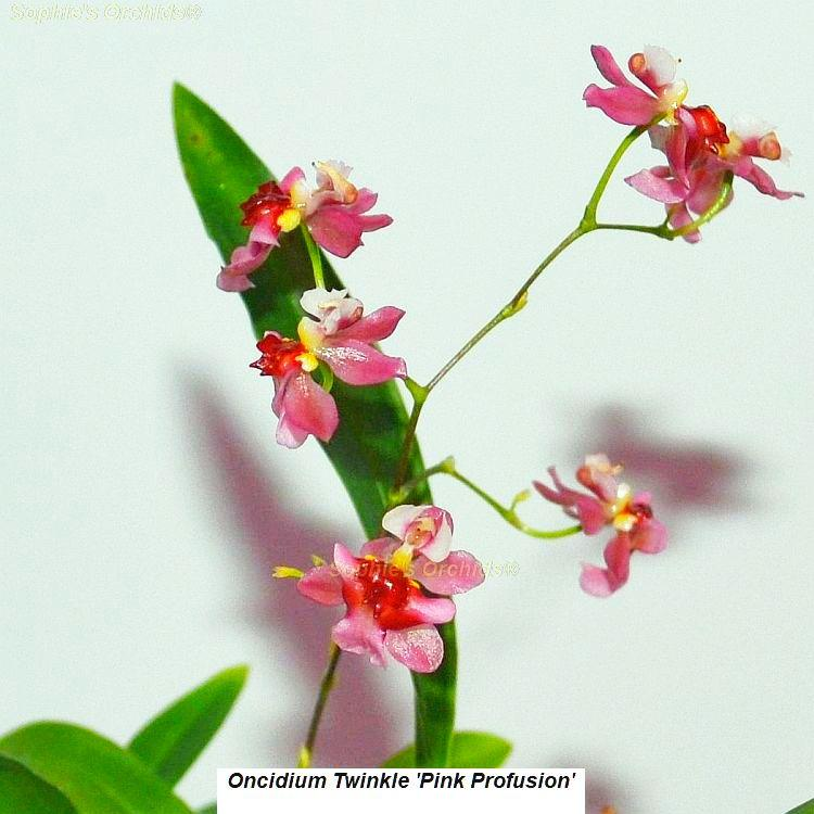 K585 Oncidium Twinkle 'Pink Profussion' 2 3/4'' Pot mini S828