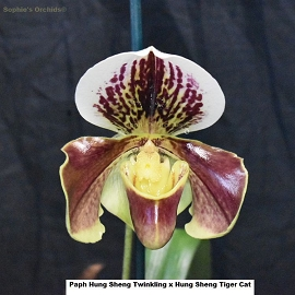 Paph Hung Sheng Twinkling x Hung Sheng Tiger Cat Bare Root T267