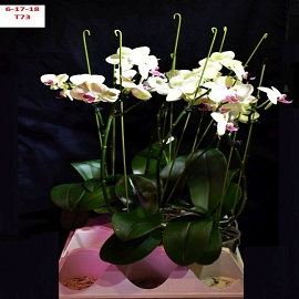 BIN No Name Phalaenopsis 4 1/2'' Pot T73