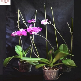 BIN No Name Phalaenopsis Orchid 4 1/2'' Pot T75