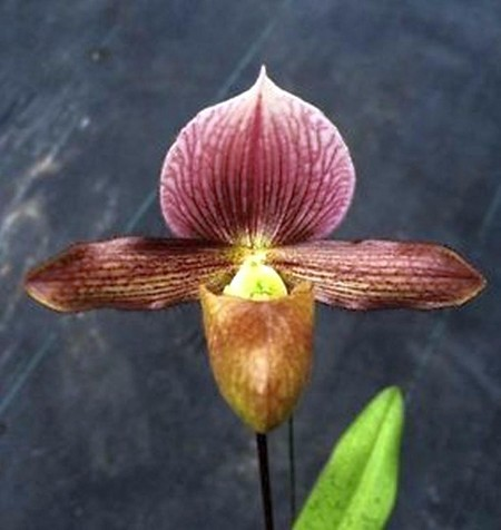 Paph Raingreen's Charm 2 1/4'' Pot Seedling S622SE