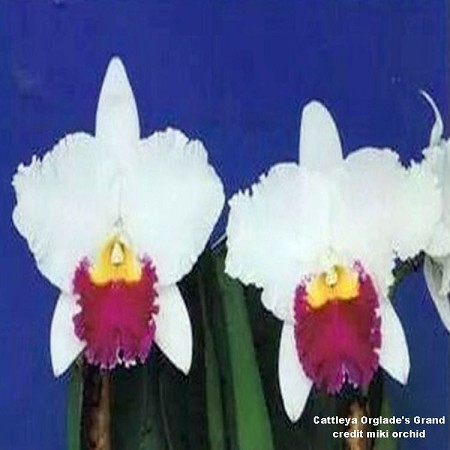 BIN Cattleya Orglade's Grand 3 1/4'' Pot T39